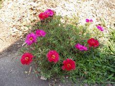 annuals--Moss Rose