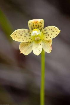 Tiger Sun-orchid: Thelymitra tigrina