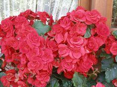 Βιγκονια Floral Wreath, Wreaths, Rose, Flowers, Plants, Home Decor, Floral Crown, Pink, Decoration Home
