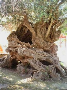 Oldest Olive Tree aged between - years old, Vouves, West Crete, Greece. I've sat on this one - not an easy tree to hug properly. All Nature, Nature Tree, Amazing Nature, Weird Trees, Unique Trees, Old Trees, Tree Forest, Olive Tree, Tree Art
