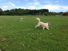 Betty chasing Wilma - our happy and cute cockapoo dogs x