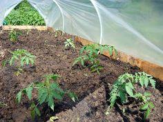 Plants de tomate sous serre tunnel