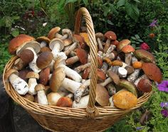 Про грибы в Крыму - сохраните, чтобы не потерять!   Ценители «тихой охоты» часто идут в Крымские горы. Здесь, на высотах в 300-700 метров можно собрать знатную добычу. Богаты на грибы и яйлы – плоские верхушки горных гряд. Многие грибники наслышаны об Ай-Петринской яйле. Кроме того, хорошими грибными местами считаются леса в Лучистом и районе горы Демерджи.   Также вы можете найти грибные места возле Севастополя, где лес тянется в сторону Бахчисарая.   В восточной части полуострова грибы…