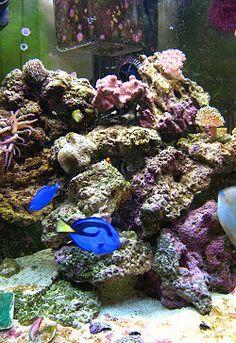 Marine aquarium - Wikipedia, the free encyclopedia Saltwater Aquarium Fish, Saltwater Tank, Reef Aquarium, Freshwater Aquarium, Aquarium Ideas, Marine Tank, Marine Fish, Hobbies For Couples, Fun Hobbies