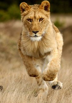 Lady Liuwa Lioness by Michal Prasek Lions, Lady, Animals, Beautiful, Animales, Lion, Animaux, Animal, Animais