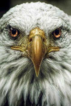 The American Bald Eagle is the symbol of American Freedom. The eagle can fly whereever it wants, that's why it represents American freedom. The Eagles, Bald Eagles, Photo Aigle, Beautiful Birds, Animals Beautiful, Aigle Animal, Animals And Pets, Cute Animals, Funny Animals