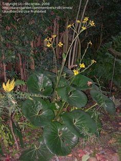 PlantFiles Pictures: Farfugium, Giant Leopard Plant 'Gigantea' (Farfugium japonicum) by Micmalta Leopard Plant, Famous Daves, Tractor, Plant Leaves, Seeds, Garden, Plants, Pictures, Succulent Plants