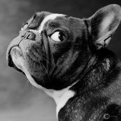 French Bulldog, Bella by Kai Tirkkonen on 500px