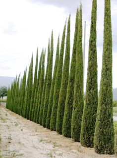 This kind of landscape tree privacy is an unquestionably inspiring and incredible idea Best Trees For Privacy, Italian Cypress Trees, Cupressus Sempervirens, Tree Seedlings, Privacy Plants, Columnar Trees, Purple Plants, Landscaping Trees, Mosaic Flowers