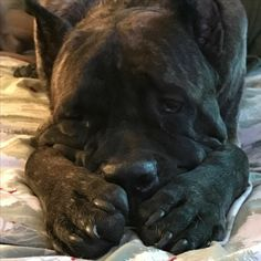"""The breed is commonly referred to as the """"Mastiff"""". Also known as the English Mastiff this giant dog breed gets known for its splendid, good natu Cane Corso Italian Mastiff, Cane Corso Mastiff, Cane Corso Dog, Cane Corso Puppies, Cane Corso Kennel, Puppies And Kitties, Doggies, Huge Dogs, Crazy Dog Lady"""