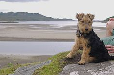 Welsh Terrier. I want one.