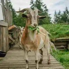 To find out what it's like to be one of the world famous Goats On The Roof at the Coombs Old Country Market, email them and read their bios. World Famous, Pacific Coast, What Is Like, Goats, How To Find Out, Old Things, Around The Worlds, Goat