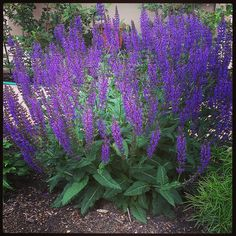 Salvia blooms for a long time and reblooms if cut back. looks great with coreposis jethro tull or coreopsis moonbeam. A possibility for front.