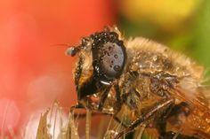 Help Save the Honeybees