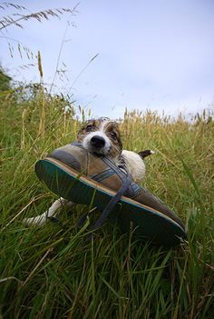 Jack Russells are such smart little dogs! I would love this little guy to help bring me my shoes♥