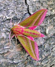 hot pink and mustard moth