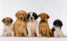 What Are The Most Expensive Dog Breeds In The World? If you got any of there puppies for Christmas, you could be sat on a small fortune.  #dogs #money #news #list #ranking
