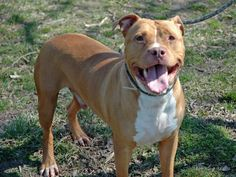 Executed on 4/10/13. Manhattan Center.  SAMSON's animal ID # was A0961178. He was a three-year-old male tan and white pit bull mix.