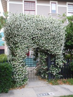 Confederate Jasmine for an arbor