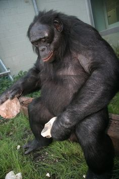 Two bonobos living in an Iowa sanctuary have made stone tools resembling those used by our ancestors. The tools hint at untapped cognitive reserves in humanity's close relatives, who perhaps should be seen less as great apes than early humans.