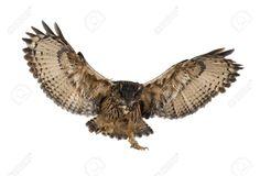 eagle owl wings - Google 검색