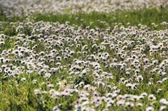 2015-04-21: daisy town | PIXILLY