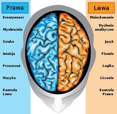mózg człowieka, mózg budowa, mózg funkcje, mózg ciekawostki - DlaMózgu.pl