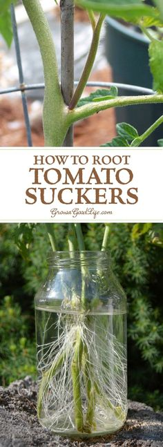 Did you know you can root tomato suckers for a second crop of fresh and healthy plants? Cloning tomato plants from stems is faster than starting from seed. Growing Tomatoes From Seed, Growing Seeds, Tomato Suckers, Plum Tomatoes, Tomato Plants, Herb Garden, Lawn And Garden, Propagation, Stems