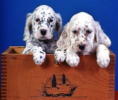 English Setter puppies.... very cute!