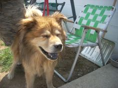 # 4 URGENT (5-7 YRS) is an adoptable Chow Chow Dog in Carrollton, OH. #4 STRAY. AVAIL. 8-21.  Available for a limited time from the Carroll County Dog Pound, 2185 Kensington Rd. NE, Route 9, Carrollto...