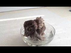 Owl having a bath slow motion / ふくろうのクウちゃん、水浴びスローモーション - YouTube