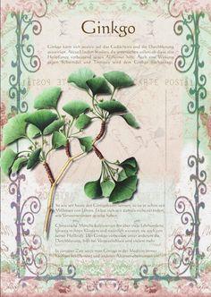 Ginko www.kraeuter-verz… … ginko www.kraeuter-dir … meer Share your vote! Sunflower Garden, Hydrangea Garden, Hydrangeas, Herb Garden, Garden Plants, Diy Projects For Beginners, Real Plants, Plant Illustration, Growing Herbs