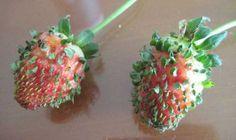 Así de fácil es sembrar fresas o frutillas en casa                                                                                                                                                                                 Más