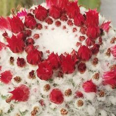 #cactuslover #cactusfamily #beautifulcactus #floweroftheday #flowermagic #flowers #flowersofinstagram #succulentlove #succulentsofinstagram #amazingcactus # by hninhnin.aye
