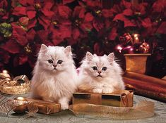 cute christmas kittens