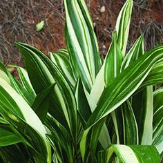 Cast Iron Plant (Aspidistra Elatior) Growing Guide
