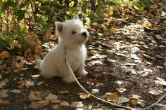 Lily the westie Westie Puppies, Westies, Cute Puppies, Dogs And Puppies, Chihuahua Dogs, Animals And Pets, Baby Animals, Funny Animals, Cute Animals