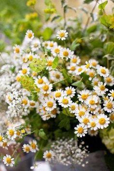 Flowers by Sean Walker Photography Little Flowers, Wild Flowers, Daisy Flowers, Pretty Flowers, Daisy Love, Wonderful Flowers, Felder, Zinnias, Flower Wallpaper