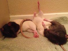 A couple of sleepy rats: named Boo and Blinkin....