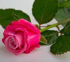 rose brillante, glitter, fleur