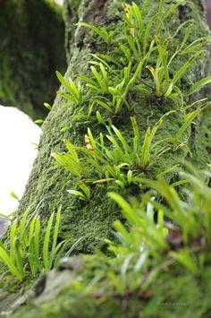 軒忍のきしのぶ  Weeping fern (Lepisorus)