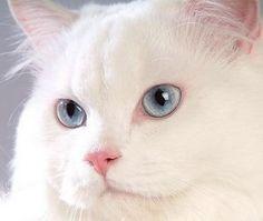 導讀:波斯貓氣質高貴成熟,不過養波斯貓的朋友會發現,家裡的愛貓總是含情脈脈,淚眼汪汪,很容易在眼睛周圍留下淚痕,尤其是淺色的波斯貓,臉上淚痕是非常難看。波斯貓為何流淚,淚痕該怎麼清理,我們一起來關心。