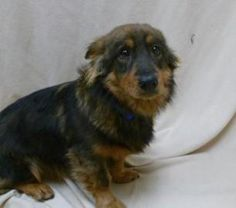 Arrow isn't as shy as he looks here. He has Corgie legs and Sheltie may want to herd children, other pets and you!