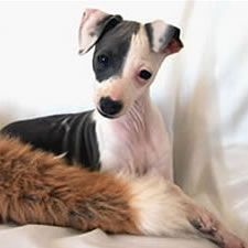 About Time Italian Greyhounds - IG Colors and Markings