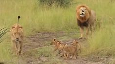 "You know that scene in ""The Lion King"" where Simba tries to roar like Mufasa? Well this is what it would look like in real life. Three little lions try to roar but their noise is no match for the King of the Jungle. Watch these adorable cubs imitate their father."