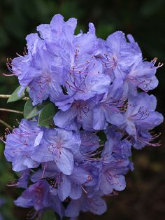Rhododendron - I want this color or in front of my house!