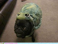 sad pug is turtle