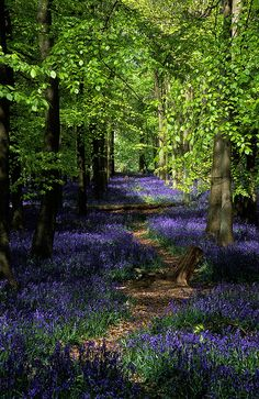 ~~Ashridge Park, Hertfordshire, UK | National Trust Woodlands carpeted with English Bluebells in Spring by ukgardenphotos~~
