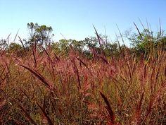Flora do Cerrado do Brasil