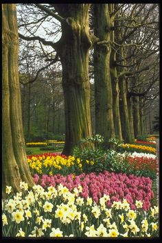 Parque. O escuro troncos de árvores, tulipas rosa, branco nartsisy
